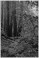 Fog. Muir Woods National Monument, California, USA ( black and white)
