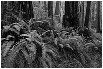 Ferns and redwood trees. Muir Woods National Monument, California, USA (black and white)