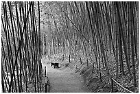 Path in bamboo forest. Saragota,  California, USA ( black and white)