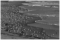 Seabirds, Waddell Beach. California, USA (black and white)