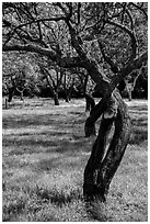 Fruit Orchard, John Muir National Historic Site. Martinez, California, USA (black and white)