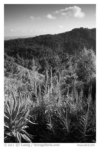 Pride of Madeira (Echium candicans) above valley and redwood forest. Muir Woods National Monument, California, USA (black and white)