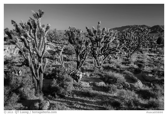 Joshua trees in bloom. Mojave National Preserve, California, USA (black and white)