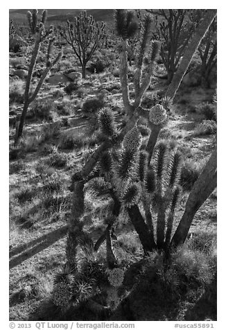 Backlit joshua tree forest with blooms. Mojave National Preserve, California, USA (black and white)