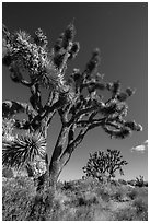Blooming Joshua Trees. Mojave National Preserve, California, USA (black and white)