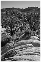 Cactus in bloom, Joshua Trees, and desert mountains. Mojave National Preserve, California, USA ( black and white)
