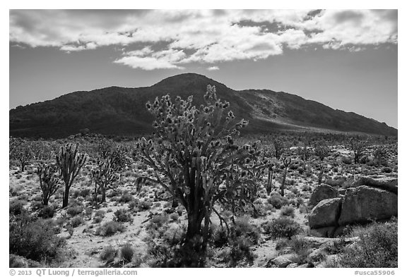 Joshua trees, Cima Dome. Mojave National Preserve, California, USA (black and white)