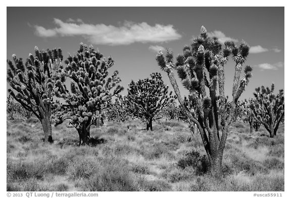 Dense forest of Joshua trees blooming. Mojave National Preserve, California, USA (black and white)