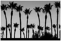 Palm trees at sunset. Los Angeles, California, USA ( black and white)