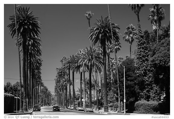 Street lined up with tall palm trees. Beverly Hills, Los Angeles, California, USA (black and white)