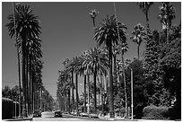 Street lined up with tall palm trees. Beverly Hills, Los Angeles, California, USA ( black and white)