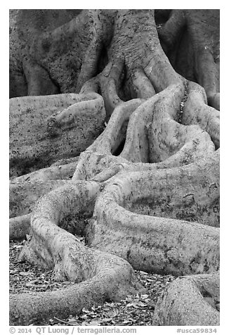 Roots of Moreton Bay Fig Tree. Santa Barbara, California, USA (black and white)