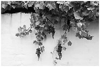 Grapes and whitewashed wall, El Presidio. Santa Barbara, California, USA ( black and white)