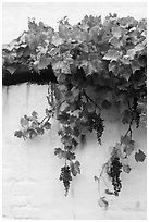 Grapes and white wall, El Presidio. Santa Barbara, California, USA ( black and white)