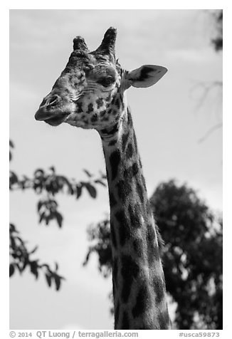 Giraffe, San Diego Zoo. San Diego, California, USA (black and white)