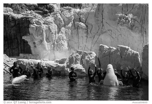 Visitors interact with beluga whales. SeaWorld San Diego, California, USA (black and white)