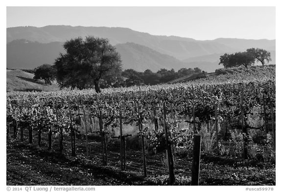 Vineyards, Santa Barbara Wine country. California, USA (black and white)