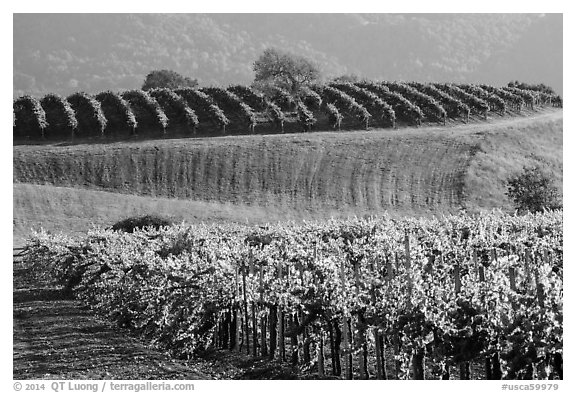 Rolling hills and Vineyards, Santa Barbara Wine country. California, USA (black and white)