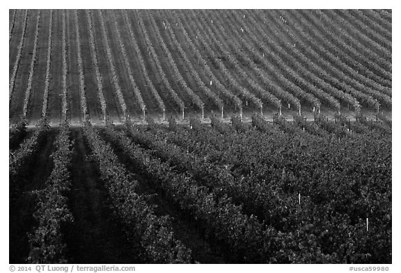 Rows of wine grapes, Santa Barbara Wine country. California, USA (black and white)