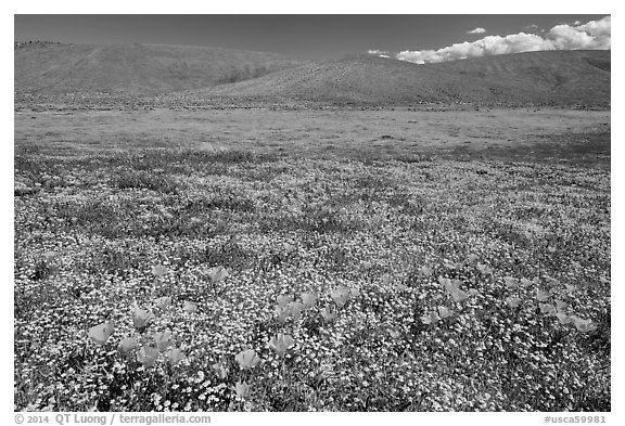 California poppies and goldfieds. Antelope Valley, California, USA (black and white)