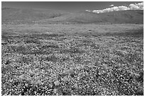 California poppies and goldfieds. Antelope Valley, California, USA ( black and white)