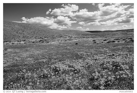 Carpet of California poppies and goldfieds. Antelope Valley, California, USA (black and white)
