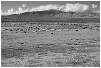 Dense patches of goldfieds and California poppies. Antelope Valley, California, USA ( black and white)