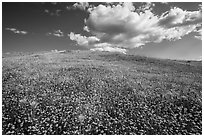 Hill solidly covered with goldfield flowers and a few poppies. Antelope Valley, California, USA ( black and white)