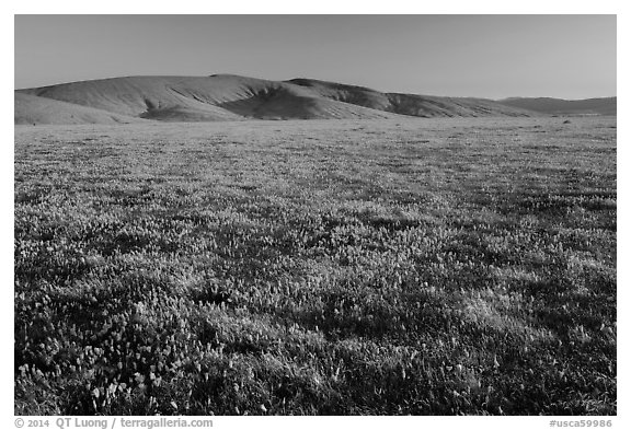 Field of closed poppies near sunset. Antelope Valley, California, USA (black and white)