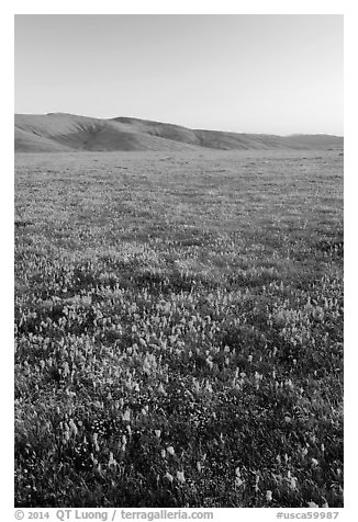 Field of closed poppies at sunset. Antelope Valley, California, USA (black and white)