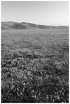 Field of closed poppies at sunset. Antelope Valley, California, USA ( black and white)