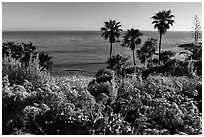 Flowers, palm trees, and ocean. Laguna Beach, Orange County, California, USA ( black and white)