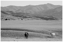 Cattle and Temblor Range. California, USA ( black and white)
