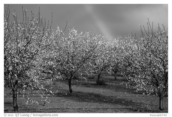 Orchard in bloom and rainbow. California, USA (black and white)