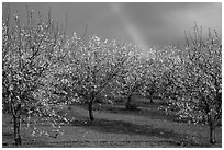 Orchard in bloom and rainbow. California, USA ( black and white)