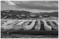 Orchard in bloom and green hills. California, USA ( black and white)