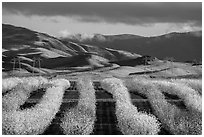 Rows of nut trees in bloom and verdant hills. California, USA ( black and white)
