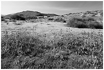 Spring wildflowers on hills. Carrizo Plain National Monument, California, USA ( black and white)