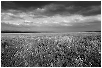 Grassland with wildflowers and storm clouds. Carrizo Plain National Monument, California, USA ( black and white)