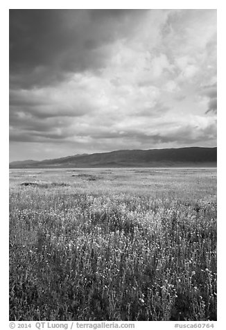 Wildflowers in meadow and Temblor Range. Carrizo Plain National Monument, California, USA (black and white)