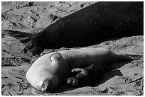 Pup, female, and part of male elephant seal, Piedras Blancas. California, USA ( black and white)