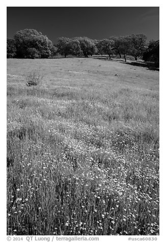 Wildflowers, grasses, and oaks, Pacheco State Park. California, USA (black and white)