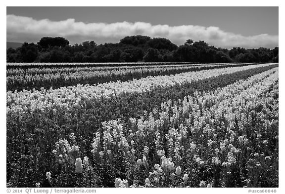 Flower fields. Lompoc, California, USA (black and white)