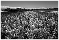 Valley of flowers. Lompoc, California, USA ( black and white)