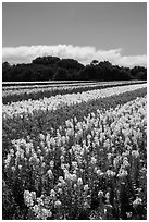 Commercial flower field. Lompoc, California, USA ( black and white)