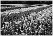 Field with rows of flowers. Lompoc, California, USA ( black and white)