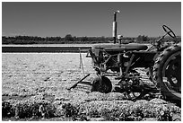 Tractor and flower field. Lompoc, California, USA ( black and white)
