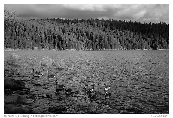 Lakeshore and geese, Jenkinson Lake. California, USA (black and white)