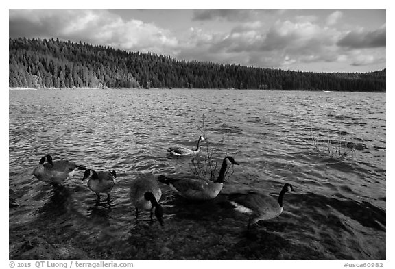 Geese, Jenkinson Lake. California, USA (black and white)