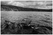 Geese, Jenkinson Lake. California, USA ( black and white)